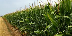 Rotate corn for better soil health