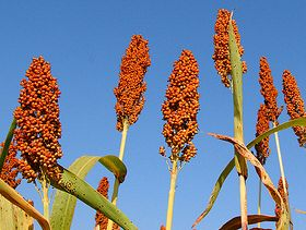Sorghum Silage Can Replace Corn Silage When Properly Managed