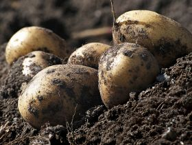 Strong Potato Yields Expected to Bolster EU Supply