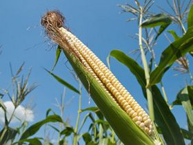 CME: Analysts Predict US Corn Plantings Down